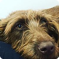 Adopt A Pet :: Sadie - Thousand Oaks, CA