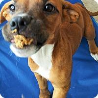 Adopt A Pet :: Balana - Wichita Falls, TX
