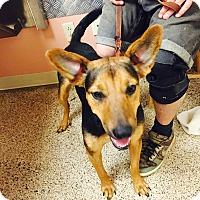 German Shepherd Dog Mix Dog for adoption in chicago, Illinois - Estella
