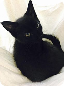 Domestic Shorthair Cat for adoption in Manteo, North Carolina - Sarah