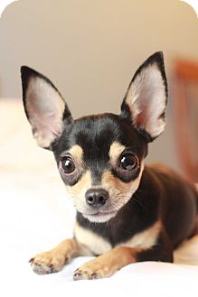 Chihuahua Dog for adoption in Romeoville, Illinois - Morgan
