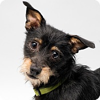 Adopt A Pet :: Taz - Westfield, NY