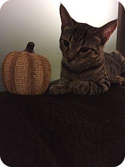 Domestic Shorthair Kitten for adoption in Trevose, Pennsylvania - Zelda