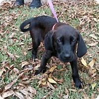 Adopt A Pet :: Buddy - Richland Hills, TX