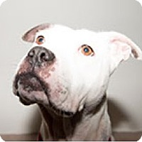 Boxer/American Bulldog Mix Dog for adoption in Pompton Lakes, New Jersey - Emily