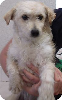 Poodle (Miniature)/Terrier (Unknown Type, Small) Mix Puppy for adoption in Corona, California - ANDY