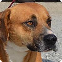Adopt A Pet :: Bowser - Southbury, CT