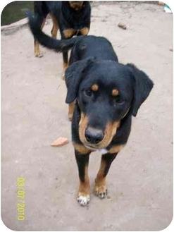 Rottweiler/Australian Shepherd Mix Dog for adoption in Norman, Oklahoma - Maggie