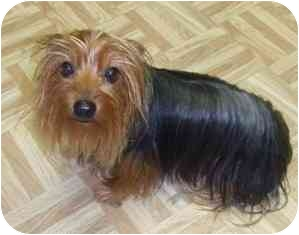 Yorkie, Yorkshire Terrier Dog for adoption in Conroe, Texas - Darby