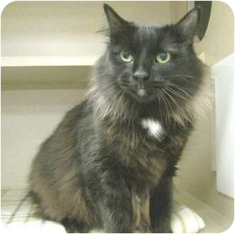 Domestic Longhair Cat for adoption in Mesa, Arizona - Abbey