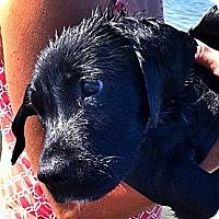 Adopt A Pet :: BEAU - Wakefield, RI
