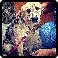 Adopt A Pet :: Josie - Los Angeles, CA
