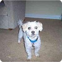 Adopt A Pet :: Armani - La Costa, CA