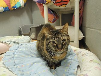 Domestic Shorthair Cat for adoption in House Springs, Missouri - Gloria