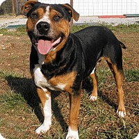 Rottweiler/Beagle Mix Dog for adoption in Washington, D.C. - BEST FRIEND BUTCH