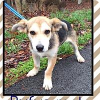 Adopt A Pet :: Rufus (Pom) - Harrisonburg, VA
