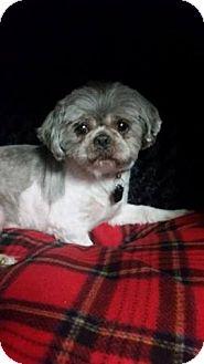 Shih Tzu Mix Dog for adoption in Urbana, Ohio - Junior Clark