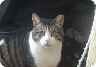 Domestic Shorthair Cat for adoption in New York, New York - MUSHY-A LONELY HEART FELLOW