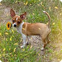 Adopt A Pet :: Pedro - Weeki Wachee, FL