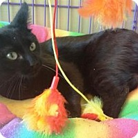 Domestic Shorthair Cat for adoption in Fenton, Missouri - BOB