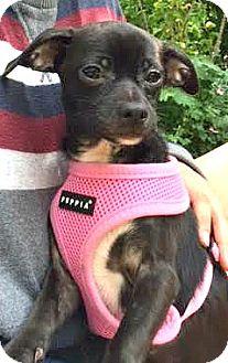 Italian Greyhound/Schnauzer (Miniature) Mix Puppy for adoption in Boulder, Colorado - Marley-Adoption Pending