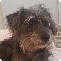 Adopt A Pet :: Toby Blue - Fort Lauderdale, FL