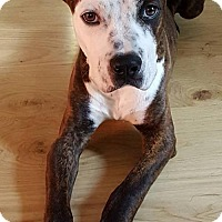American Staffordshire Terrier Mix Dog for adoption in Whitestone, New York - Blue