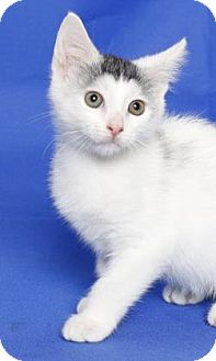 Domestic Shorthair Kitten for adoption in Gloucester, Virginia - BLUE EYED SQUEEKER PANTS