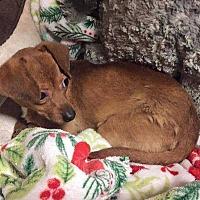 Adopt A Pet :: Cece - Calimesa, CA
