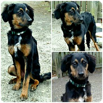Spaniel (Unknown Type) Mix Dog for adoption in Forked River, New Jersey - Jasmine