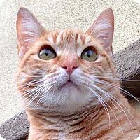 Adopt A Pet :: Chutney - Tiburon, CA