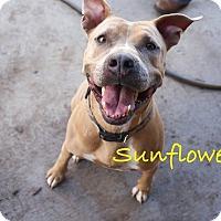 Adopt A Pet :: Sunny - Myakka City, FL