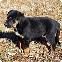 Adopt A Pet :: PUPPY LONGHORN - Hagerstown, MD
