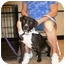 Photo 2 - American Pit Bull Terrier Mix Dog for adoption in Wylie, Texas - Merryweather