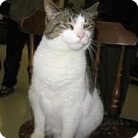 Domestic Shorthair Cat for adoption in Milwaukee, Wisconsin - Lolita