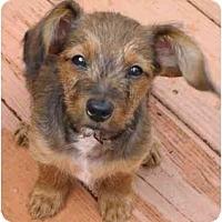 Adopt A Pet :: Baby Regis - Staunton, VA