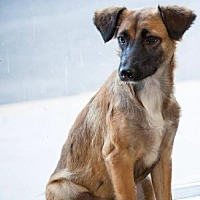 Spaniel (Unknown Type) Mix Puppy for adoption in Del Rio, Texas - Blossom