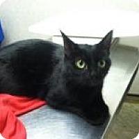 Adopt A Pet :: Black Velvet (Jeanne's Cat) - Medford, NJ
