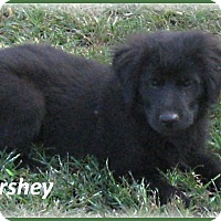 Adopt A Pet :: Hershey-ADOPTION PENDING - Marlborough, MA