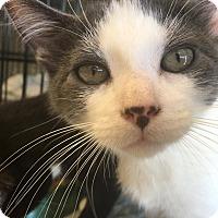 Adopt A Pet :: Belle - Island Park, NY