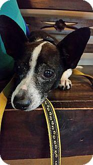 Corgi Mix Dog for adoption in Palmetto Bay, Florida - Scrappy