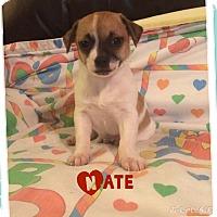 Adopt A Pet :: Nate - Brea, CA