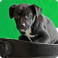 Adopt A Pet :: Persus - Waldorf, MD