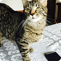 Domestic Shorthair Cat for adoption in Oak Lawn, Illinois - Kit Kat