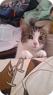 Domestic Shorthair Kitten for adoption in Columbus, Ohio - Mercedes