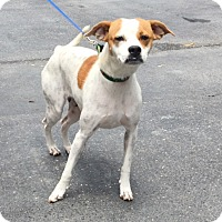Adopt A Pet :: Amelia - Jupiter, FL