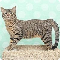 Adopt A Pet :: Tiger - Chippewa Falls, WI