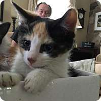 Adopt A Pet :: Scarlett O'Hara - Whitehall, PA