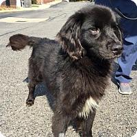 Adopt A Pet :: Calvin - Clarkston, MI