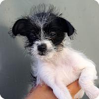 Adopt A Pet :: Siracha - tiny! - Los Angeles, CA